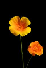 Kalifornischer Mohn - California poppy 06