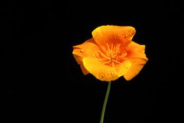 Kalifornischer Mohn - California poppy 07