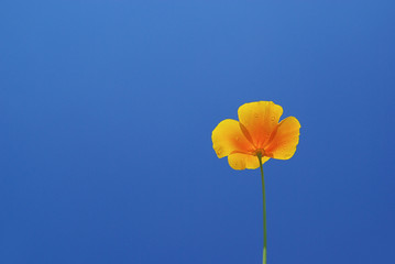 Kalifornischer Mohn - California poppy 08