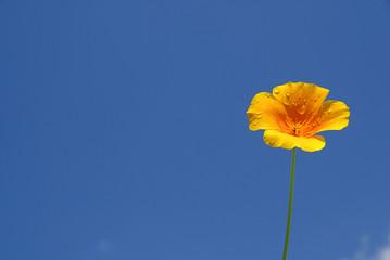 Kalifornischer Mohn - California poppy 09