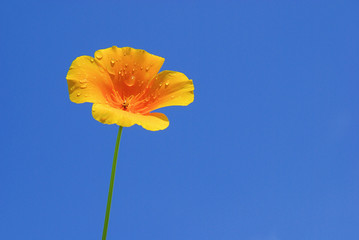 Kalifornischer Mohn - California poppy 10