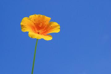 Kalifornischer Mohn - California poppy 10