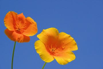 Kalifornischer Mohn - California poppy 13