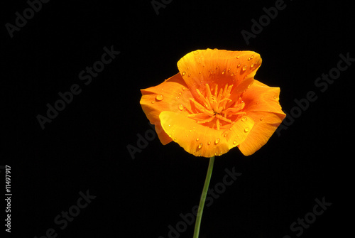 Kalifornischer Mohn - California poppy 07