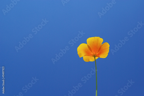 Kalifornischer Mohn - California poppy 08