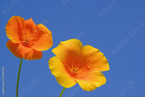 Kalifornischer Mohn - California poppy 13