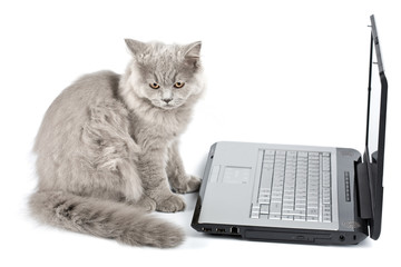british kitten in front of laptop isolated
