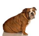 red brindle english bulldog sitting poster