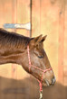 Young Quarter Horse Foal in Red Halter