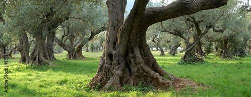 Foto op Plexiglas Olijfboom oliviers centenaires