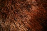 Authentic beaver fur poster