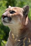 Captivating Cougar