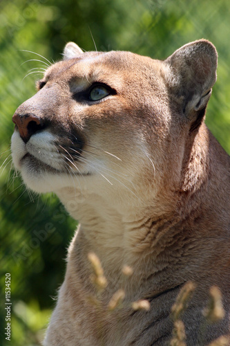 Keuken foto achterwand Puma Captivating Cougar