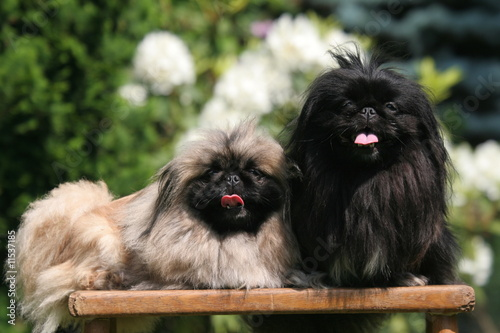couple de pekinois tirant la langue