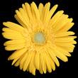 une fleur jaune de gerbera sur un fond noir