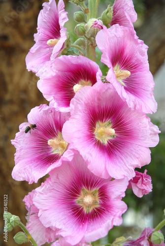 Rose trémière et abeille