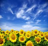 Fototapety sunflower field