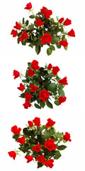 Bunch of scarlet roses isolated on white. Set of 3 pictures.