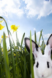 Close up of a rabbit in grass with daffodils