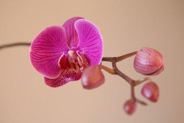 OrchideeII