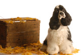 american cocker spaniel sitting in autumn leaves poster