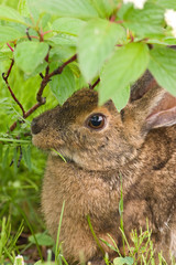 A hare feeding on grass up close