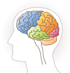 Cerveau - lobes