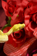 Snake over red gift and roses
