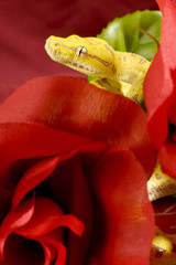 Snake over red roses