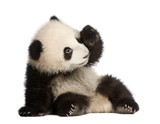 Fototapety Giant Panda (6 months) - Ailuropoda melanoleuca