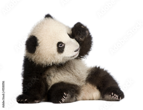 Giant Panda (6 months) - Ailuropoda melanoleuca - 11580116