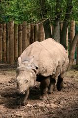 Asian Great One-horned Rhinoceros