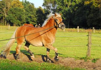Pferde, Haflinger