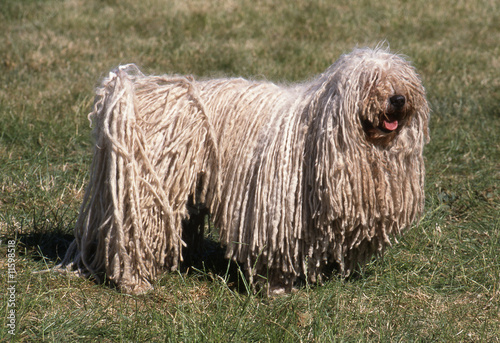 Puli, le chien rasta aux dreadlocks