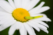 Caterpillar on Chamomile