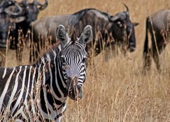 Zebra in der Masai Mara, Kenia