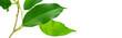 branche de ficus isolée sur fond blanc - branche et feuilles