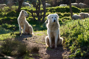 two sheepdogs maremmano in backlight