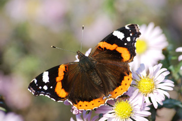 The butterfly-krapivnitsa against camomiles