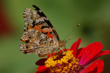 The butterfly-repejnitsa on a red flower