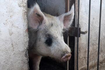 A beatiful pig