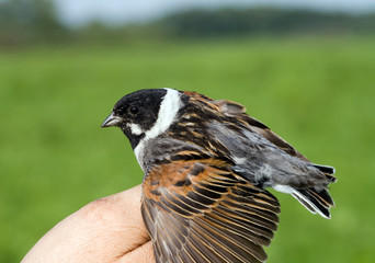 Reed bunting on the man's hand