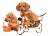 dachshund puppy bicyclist poster
