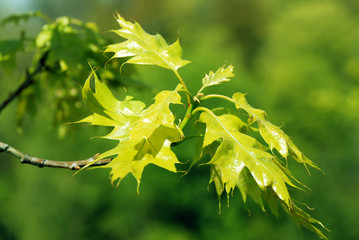 Young green maple leaves in spring