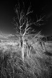 Withered Tree (Black and White) poster