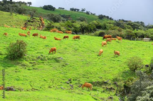 Papiers peints Vache vaches limousines au pâturage