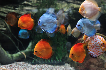 colorful tropical Symphysodon discus fish