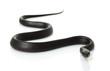 Eastern Indigo Snake - 11649768