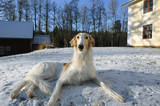 borzoi, sight-hound at rest poster