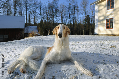 poster of borzoi, sight-hound at rest